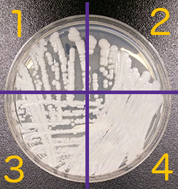 boite de petri 4 zones